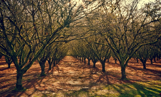 Filbert (Hazelnut) Orchard in Yamhill County, OR