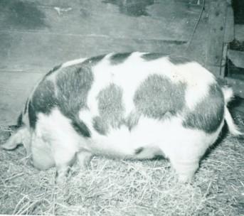 livestock - pig